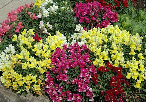 Львиный зев цветов на клумбе 147